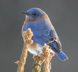 Blåfågel